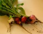 fresh radishes!