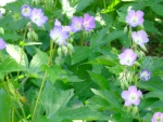wild geranium starting to bloom