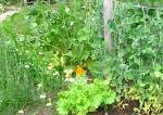 peas, lettuce, chamomile & nasturtium