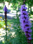 purple blazing star
