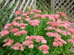 Autumn joy sedum