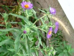 New England aster with bottle brush grass