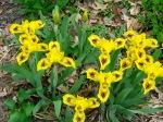 Dwarf yellow iris