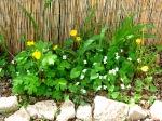 Wood poppy, violets & dandelions
