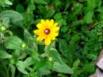 a volunteer black-eyed Susan