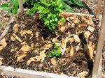 leaf and cardboard mulch