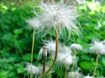 Pasque flower seed puff
