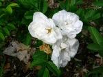 White rugosa