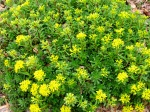yellow creeping sedum