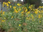 Perennial sunflowers gone wild