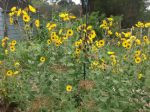 Perennial sunflowers gone wild