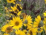 Perennial sunflowers close up