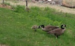 geese with babies