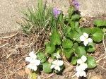 dainty violets