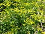 Parsnip flowers