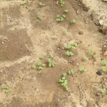 buckwheat sprouting in the chicken garden sand