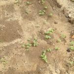 buckwheat sprouting in the chicken garden sand