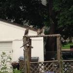 broad-winged hawk babies