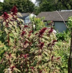 Awesome amaranth