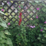 Hummingbird being overrun by morning glories