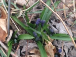 Siberian squill getting ready to bloom