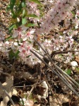 Bush cherry blooms
