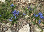 Siberian squill in bloom