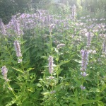 anise hyssop and bergamot bee factory