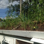Green roof - weeds are green right?