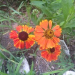 Helen's flower