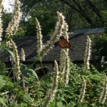 Monarch on giant hyssop