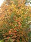Hazelnut tree before the wind