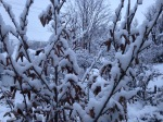 Snow covered witch hazel
